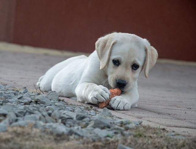 Répa kutyának